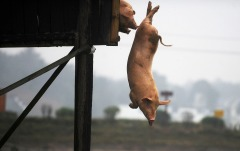 A pig dives into water in Ningxiang county