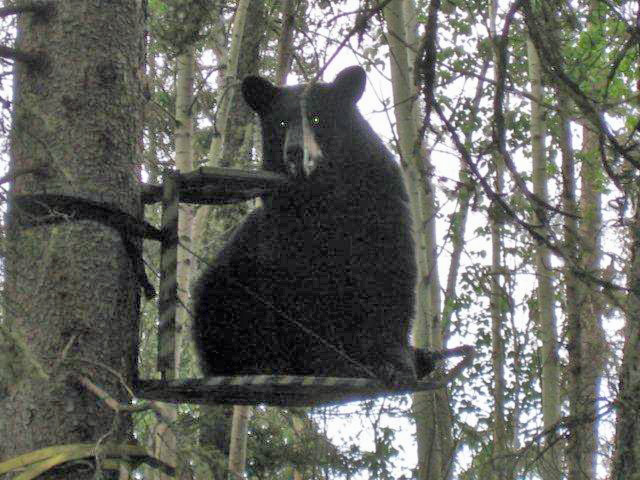 Rogue Bear Wipes Out Hunting Party In Maine The Cretonia
