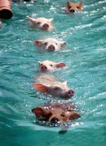 pigs5