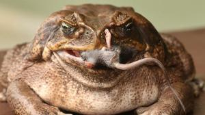 canetoad2