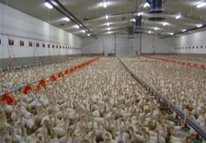turkeyfarm3