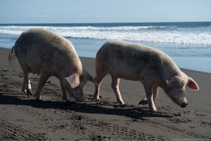 Rose pigs on Pacific ocean Guatemala beach near Monterico.